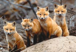 4-fox-cubs