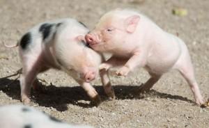 fighting-pigs